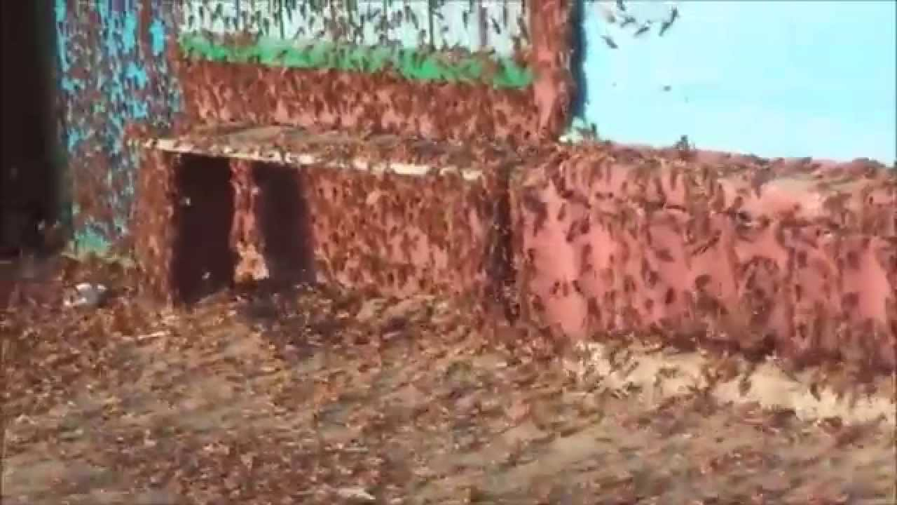 The invasion of locusts throughout Russia