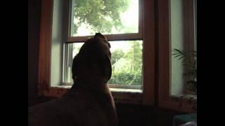 Dogue De Bordeaux Singing To Tornado Sirens