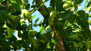 Xylella fastidiosa: how to eradicate the olive tree killer?