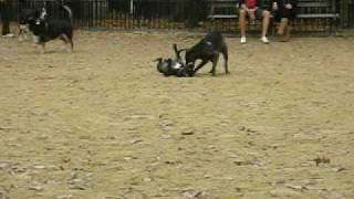 Staffordshire Bull Terrier Tevez At Dog Run, Tompkins Square Park, New York City