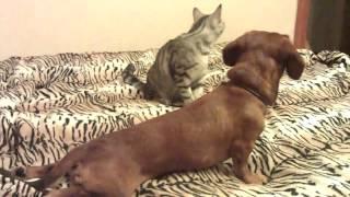 Такса и кот
