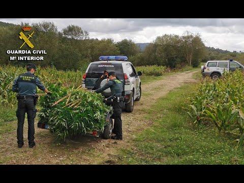La Guardia Civil detiene al presunto responsable de dos plantaciones de marihuana en Caldas y Barro