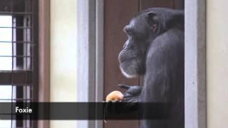 Chimps enjoying a Thanksgiving Feast