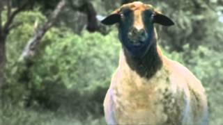خروف يستمع الي تكبيرات العيد .. شاهد ماذا حدث