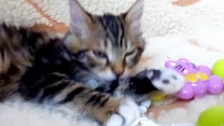 котенок породы курильский бобтейл