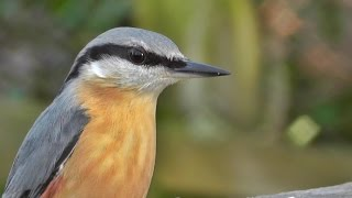 Nuthatch Bird Song And Nature Sounds - Birds Singing - One Hour Of Beautiful Nuthatches