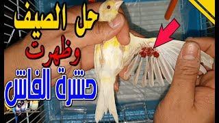 حل للطائر الدي يأكل ريشه بسبب الفاش/ وقت الصيف وحشرة الفاش