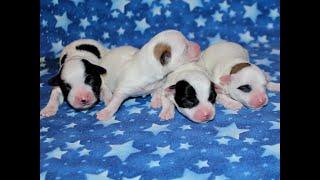 Coton Puppies For Sale - Kiwi 9/8/21
