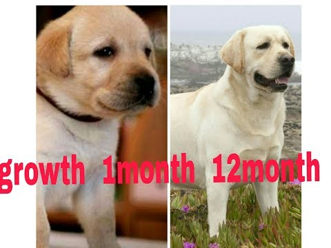 Labrador Growth 1month To 12month