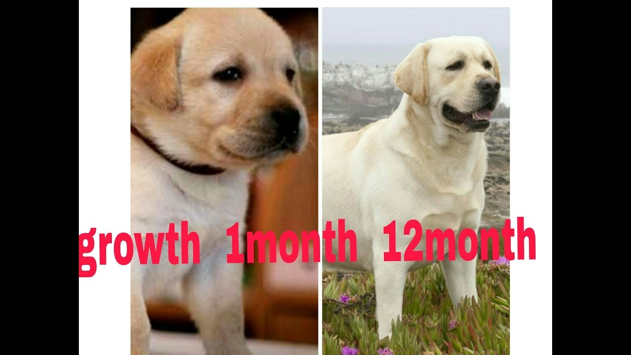 Labrador Growth 1month To 12month You