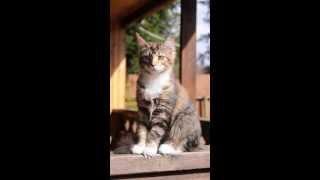 Метис мейн-куна (кошка)