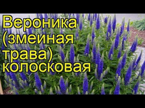Вероника колосистая. Краткий обзор, описание характеристик veronica spicata