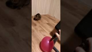 Кот и лопнувший воздушный шарик