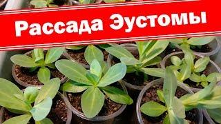 Эустома - выращивание из семян. Как вырастить хорошую рассаду эустомы?