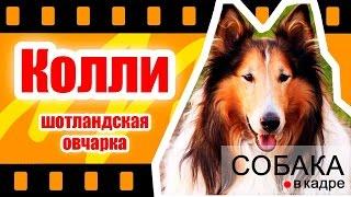 Колли - Шотландская овчарка. Энциклопедия собак.