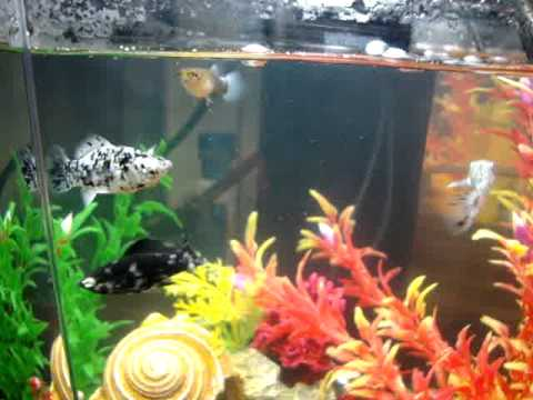 Pregnant Guppy Dalmation Molly Fish Tank Youtube