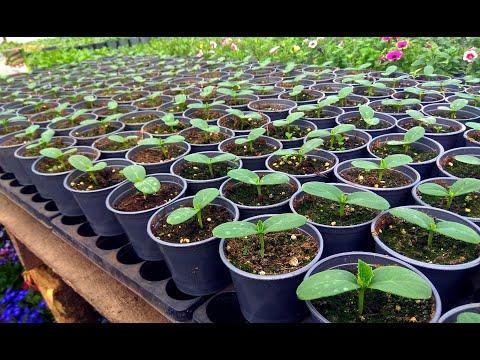 НИЗКАЯ И КРЕПКАЯ РАССАДА ОГУРЦА. Важные условия выращивания.