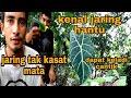 Mikat Cucak Ranting Dapat Banyak Bunga Keladi Cantik  Mp3 - Mp4 Download