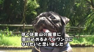 黒パグナイトの神奈川 座間谷戸山公園 4匹が行く♪