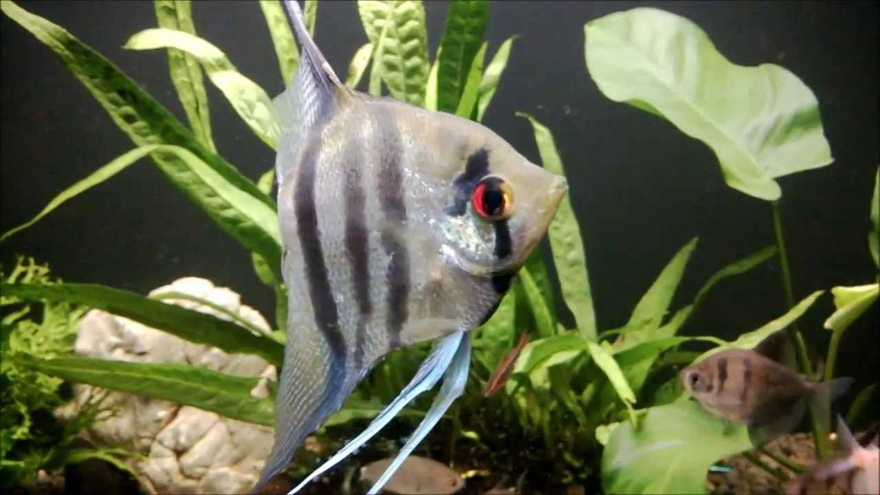 Blue Zebra Angelfish - YouTube