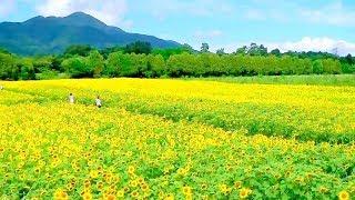 矢巾町 ひまわり畑の風景 【2016】