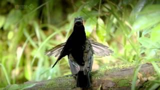 Райские птицы. Фильм BBC