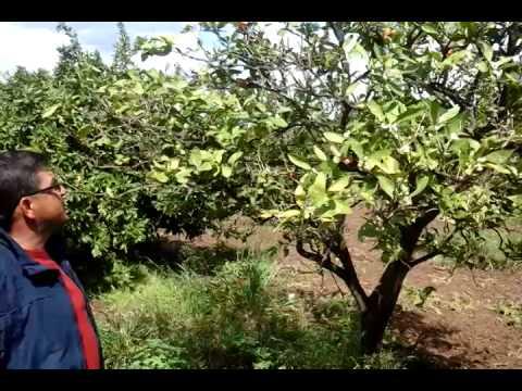 Dikili - Kuruyan Mandalina Ağacını Yeşertme - Canlandırma - Mandalina Ağacı Hastalıkları
