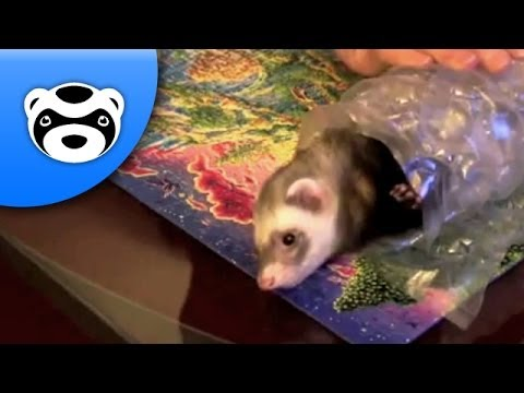 How to Wrap a Ferret for Christmas