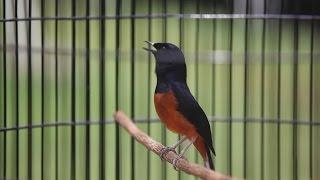 Соревнования певчих птиц набирают популярность в Индонезии (новости)