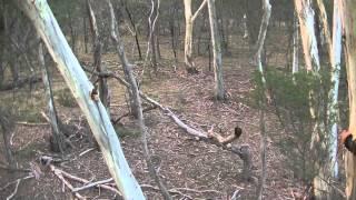 Fallow Deer 4 March 2015 - Bowhunting - Australia