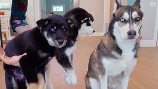 Wolf Meets the rest of the Puppies!