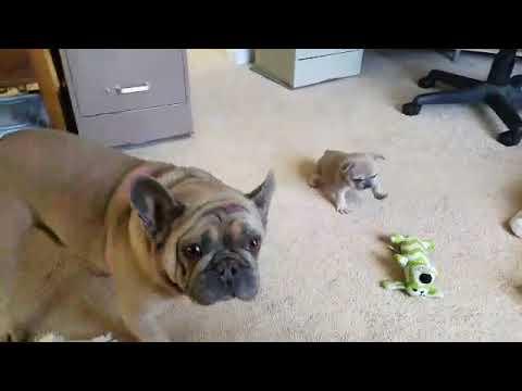 Fifi Le Fae Update ~ French Bulldog Puppies ~ Oregon French Bulldog Breeders