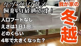 【ケヅメリクガメ】飼育4年経過(冬越し)(飼育環境)(自作ケージ)(Japan KOTATSU tortoise cage) thumbnail