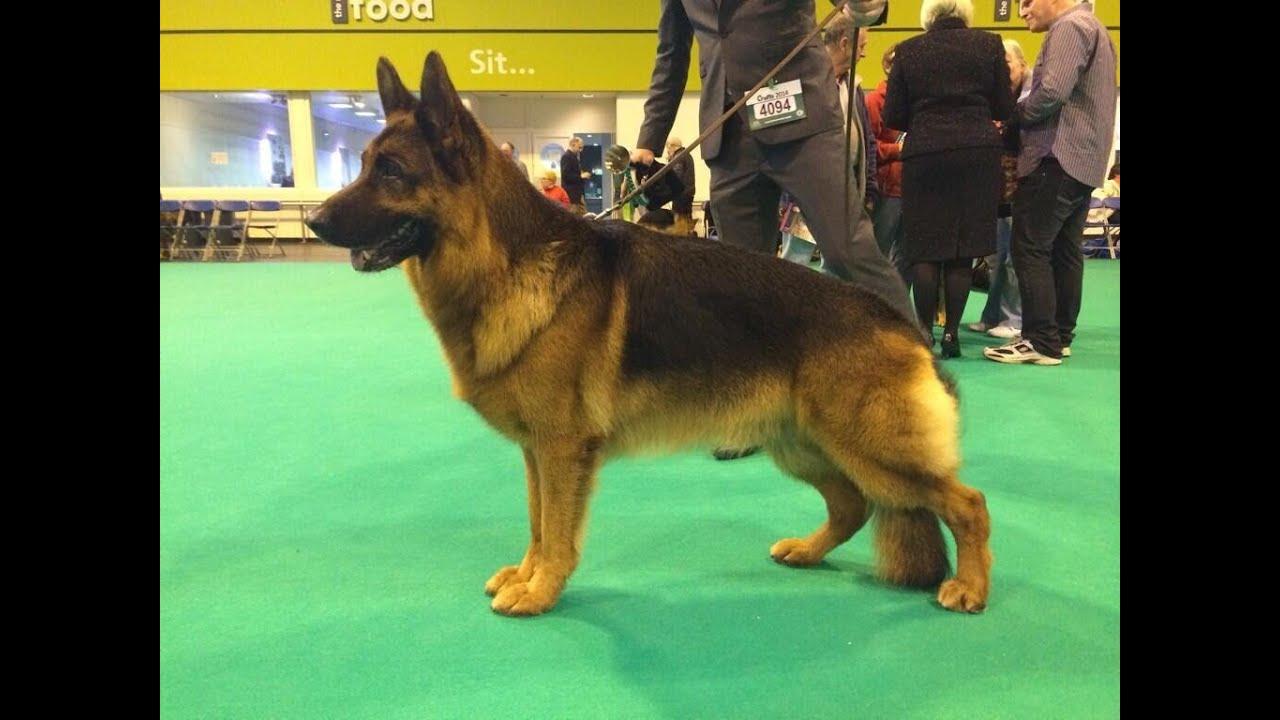 German Shepard Winner Of Dog Show