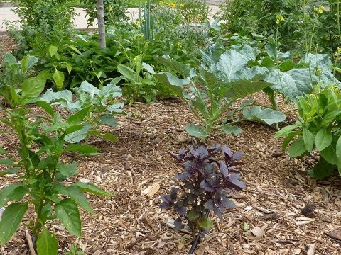 Mini Food Forest in Denver, Colorado. A front yard edible garden using permaculture design.
