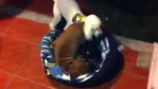 Boxer Vs Labrador Vs Poodle