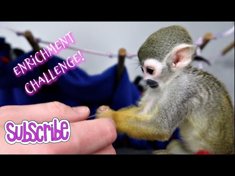 Baby Monkey oLLie Enrichment Challenge Fun!