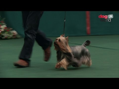 Australian Silky Terrier - Best of Breed