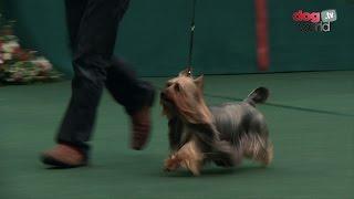 Australian Silky Terrier  Best of Breed