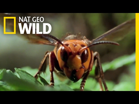 The World's Biggest Wasp | Bite, Sting, Kill