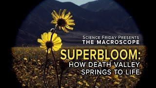 Superbloom: How Death Valley Springs To Life