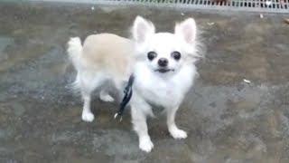 ペット #かわいい #犬 #イヌ #チワワ #ロングコートチワワ フェリー乗り...
