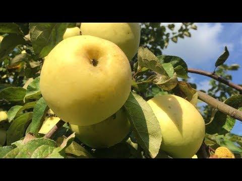 Обрезать или не обрезать плодовые деревья?