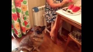 Собака выпрашивает арбуз у хозяйки в Волжском