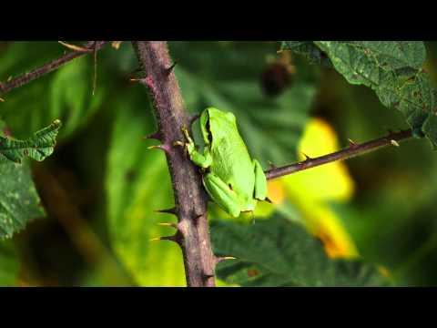 Boomkikker, Hyla arborea, Europäischer Laubfrosch, Common Tree frog, Rainette verte