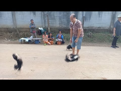 Chihuahua Puppies Filmed Doing Backflips