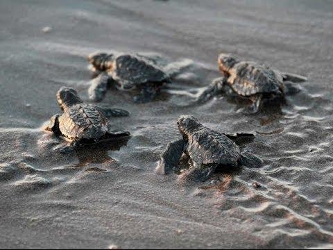AMAZING FOOTAGE of Baby Turtle Hatch, Run Towards Ocean