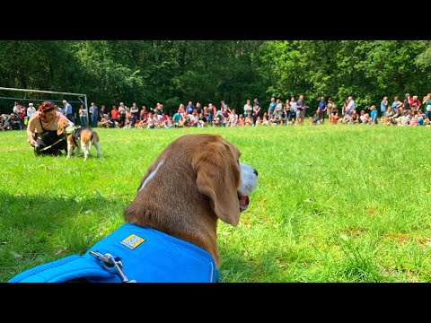 Taking my Beagle to a 125 Beagles beagle party | Beagle Universe