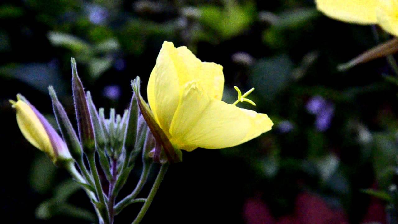 Лунник цветок желтый