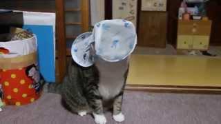 洗濯ネットをかぶる猫、顔を隠して楽しさ隠さず